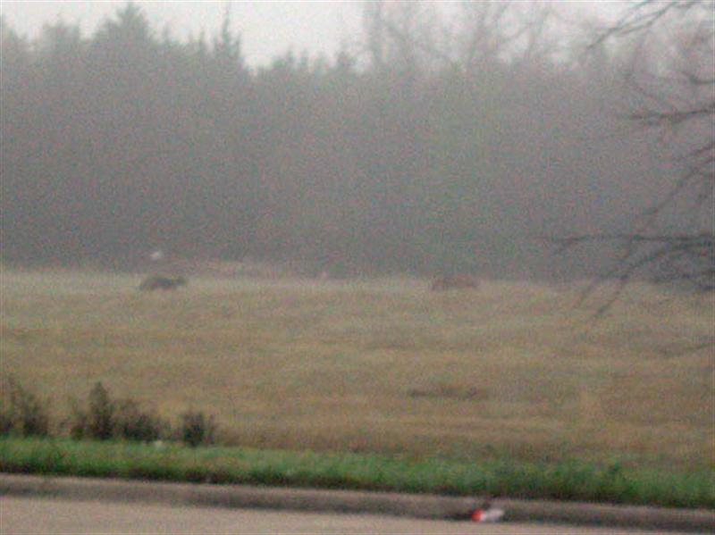 I observed these two Coyotes early on morning on the way into work. It was very foggy on the morning I took this picture, and the generally poor visibility probably contributed to the Coyotes being out and about a little later in the morning than what is typical.