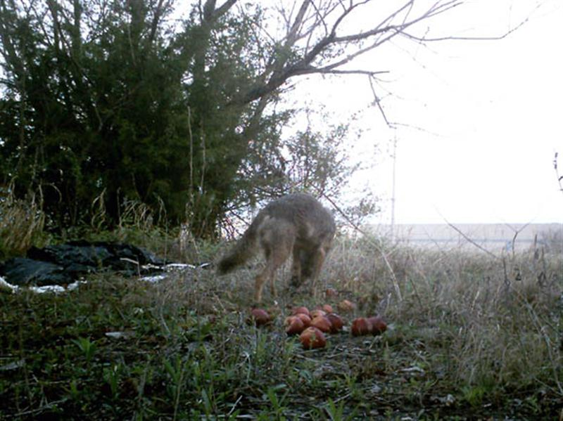 Again I used apples as the attractant for the trail camera, and after almost seven days the Coyotes finally became confident enough to eat them.
