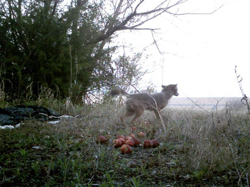 Even after the Coyotes became confident enough to eat the apples, they still remained very skittish. This one is jumping at the sound of the camera taking a picture. It is notable that the Coyotes were this sensitive to the camera even during the day when no flash was being used.