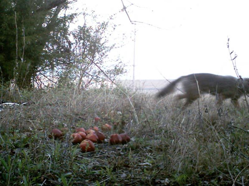 The lure of the apples is very strong for this urban Coyote.
