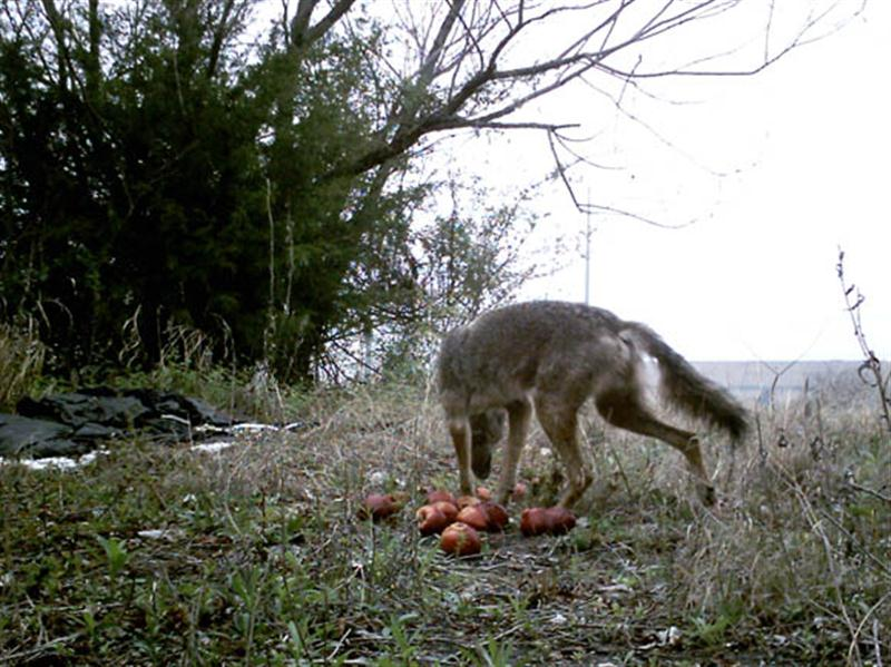 This is a relatively small Coyote.
