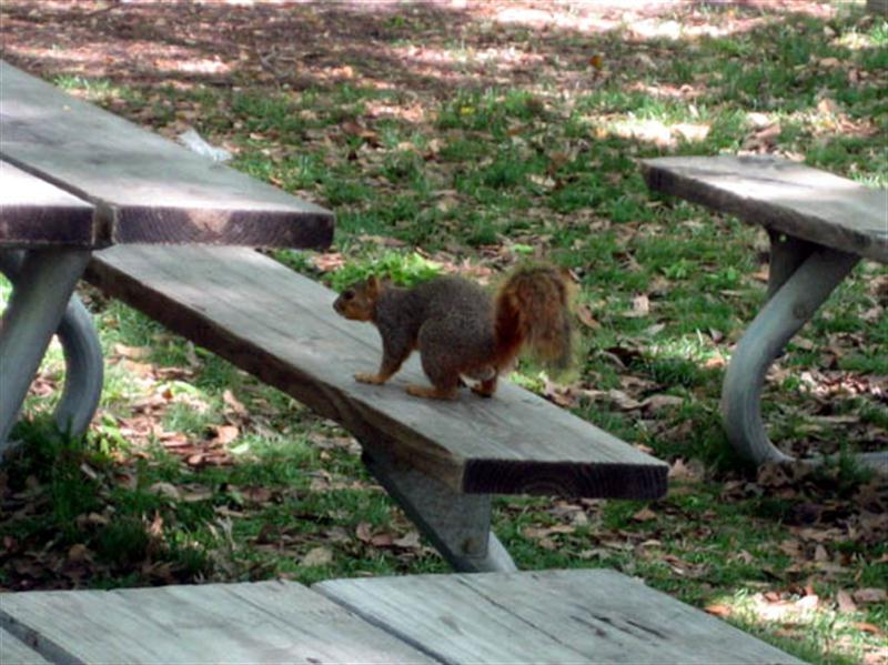 The Fox Squirrel in this picture waited patiently while a small group of zoo visitors ate their lunch at this picnic table. After the group finished eating and left the table, the squirrel quickly moved in to check for scraps.
