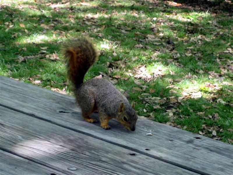 The picnickers did a pretty good job of cleaning up after themselves, so the squirrel found the picking kind of slim. Still he quickly managed to find these crumbs (chips or sunflower seeds).