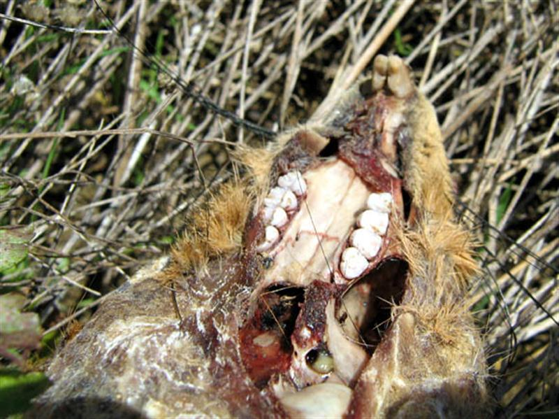 A closer look at the squirrel's skull minus the jaw bone. The still wet blood in the skull indicates that the carcass represent a relatively recent kill.