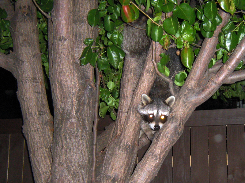 This Raccoon ran across the alley in front of my car as I was coming home from work on Wednesday night.  After crossing the alley, he scampered up a tree, and climbed high into the upper branches.