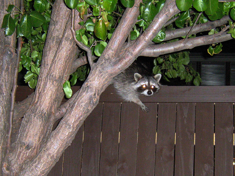 After a few minutes the Raccoon  decided to continue on his way.  He climbed down on to the fence, gave me one last look, and then followed the fence around to a corner of the yard.