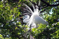 A Great Egret putting on a show.