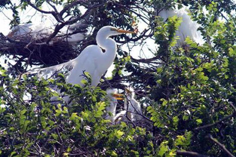 Great Egret On Prowl >> The Amazing UTSWMC Rookery – DFW Urban Wildlife