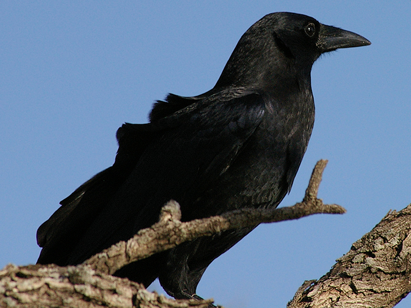 American Crow - Mischief Makers
