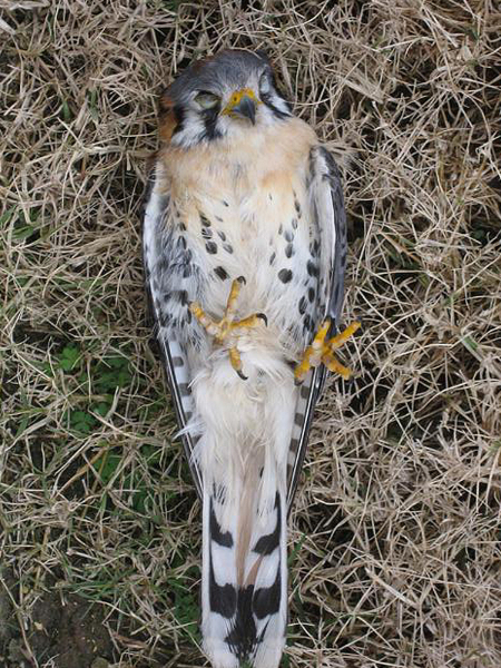 American Kestrel - Window Collision