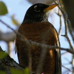 American Robin - Frankford Female