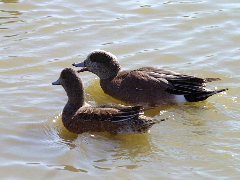American Wigeon - Pond Pair