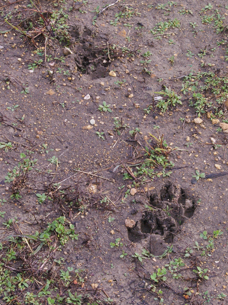 Coyotes tracks in the fresh mud.