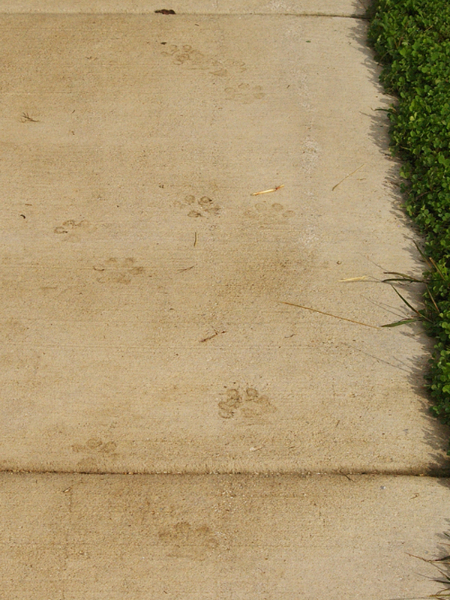 Coyote paw prints on a sidewalk.