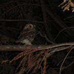 Eastern Screech Owl - Little Guy