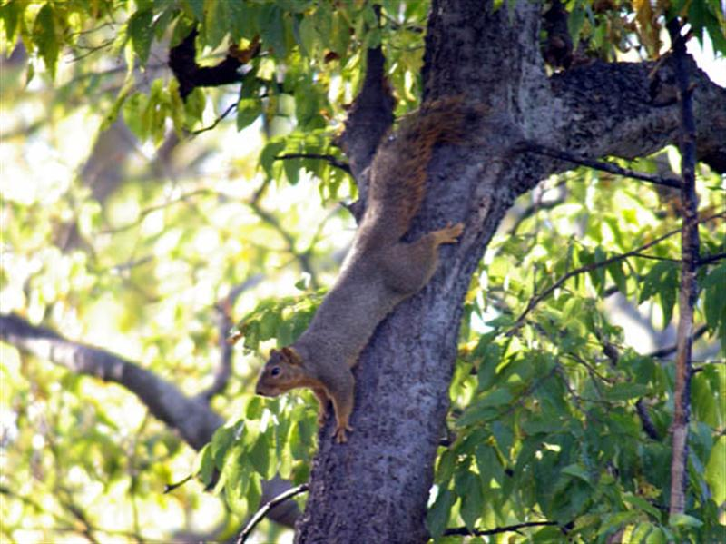 Another Fox Squirrel in the general vicinity of the rare albinos in Denton, Texas.
