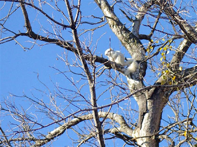This time I didn't have to wait long for the albino squirrel to reemerge. He came out of his nest and then quickly scampered up the tree to this higher vantage point.