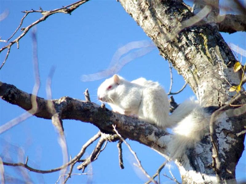 A closer look at the rare albino Fox Squirrel in Denton, Texas.