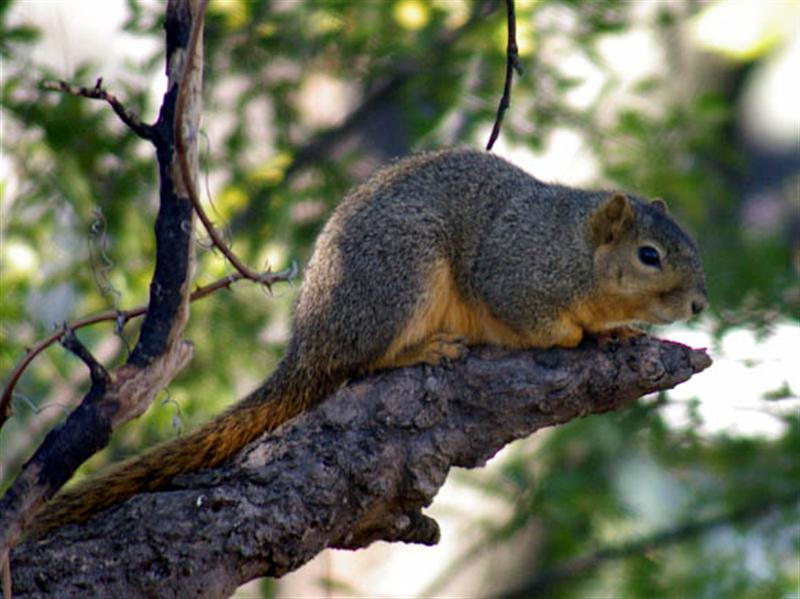 I managed this photograph of a normal Fox Squirrel just before I left. This fellow is big and fat and healthy looking!