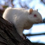 Fox Squirrel - Albinos