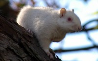 I watched the first albino for almost an hour as he generally stayed to far away from me to photograph. I was alerted to the arrival of the second albino when I heard him barking at me from a branch just above where I was sitting. This is a picture of the second albino squirrel I had seen that morning.