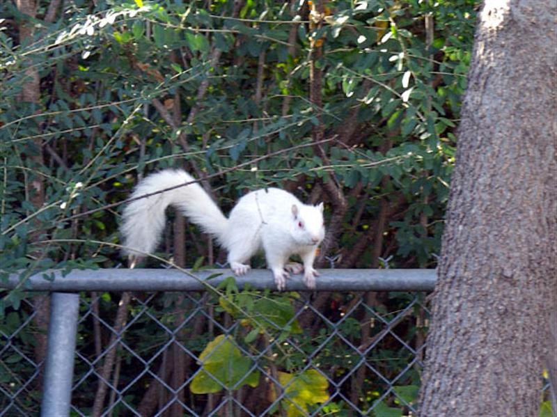 After tiring of barking at me, the squirrel made its way down to the chain-link fence. From there the squirrel visited a spot at the base of the tree where I had placed a pile of mixed nuts.