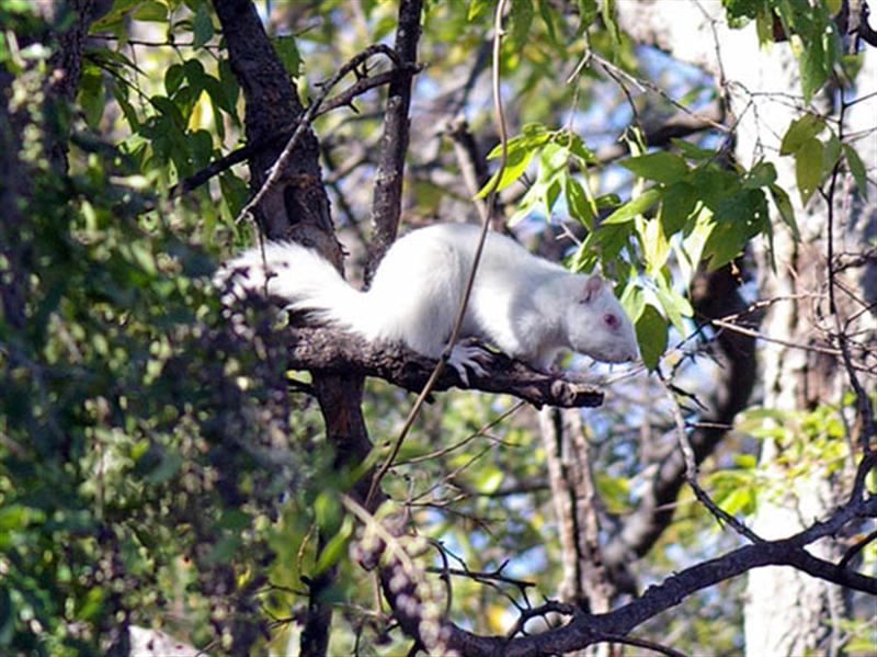 The white squirrels are terribly beautiful. Albino Fox Squirrels are extremely rare, and it is thought that their white fur makes them more visible, and therefore more vulnerable to predation. Reportedly, these are not the first albino squirrels in Denton. In 2003 an albino was found closer to the center of the UNT campus where it thrived for nearly 3 years until it was eaten by a hawk sometime in 2006. With luck, the genetics for albinism are now well established in the Denton squirrel population. Hopefully, there will be many more of these charming creatures even if something unfortunate does happen to the current pair.