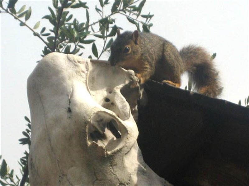 As we watched the Fox Squirrel began to gnaw on a ridge of bone near the back of the cow skull.