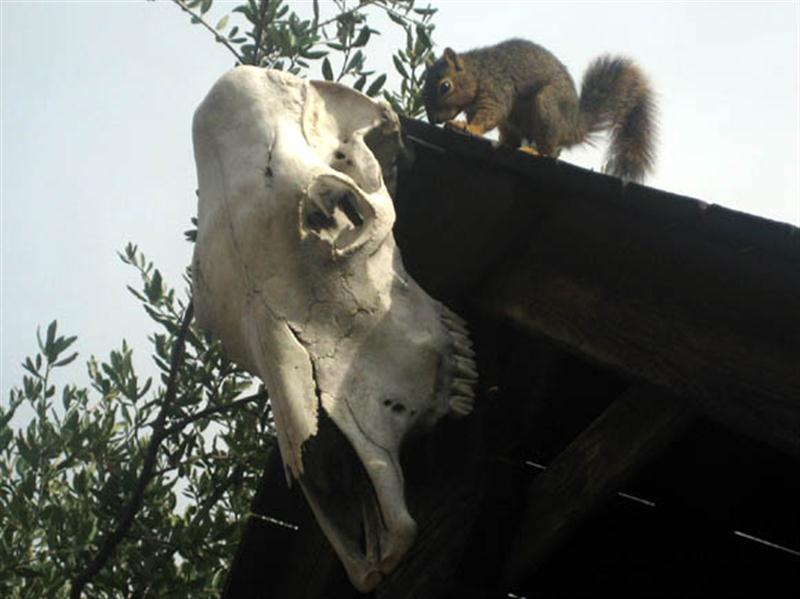 After just a few moments the squirrel stopped gnawing on the skull, and backed away.