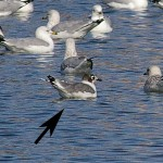 Franklin's Gull - Fall Migrant