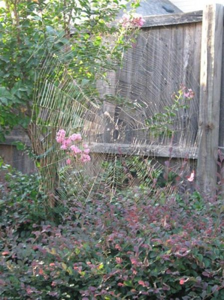 The spider was large with a legspan of at least an inch and a half. The web was even larger—easily over 3 feet in diameter.