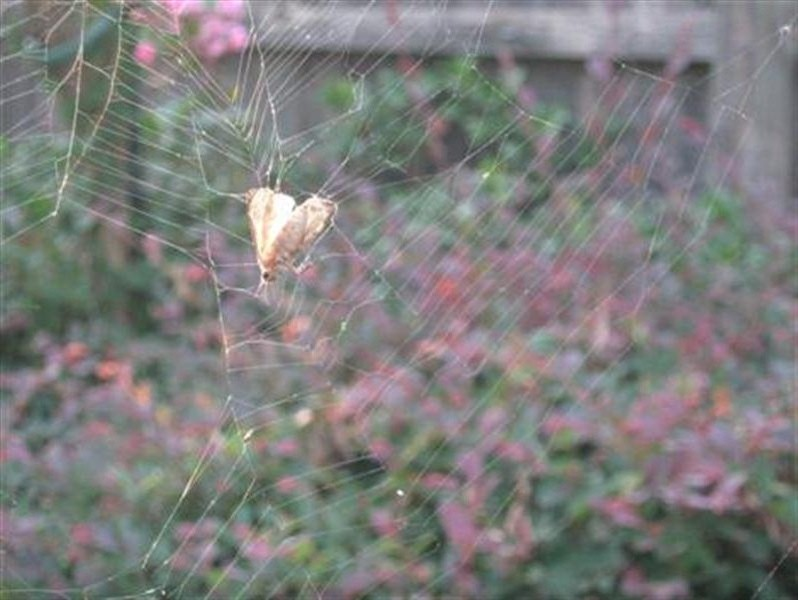 A closeup of a moth of some kind caught in the spider's web.