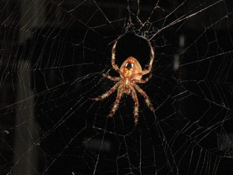 An interesting view of the spider's underside. This picture is very close to life-size on a 17 inch lcd monitor set to 1280x1024.