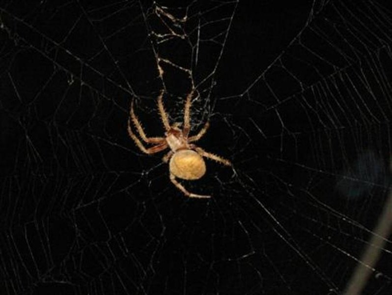 The spider from a slightly different angle. The web's need of repair is clearly visible in this shot.