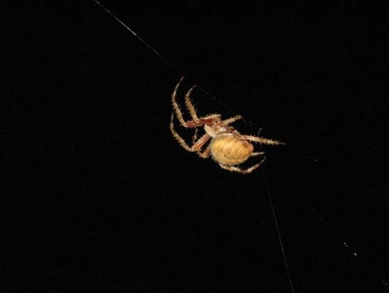 Accidentally disturbed, the spider flees to one corner of its web.