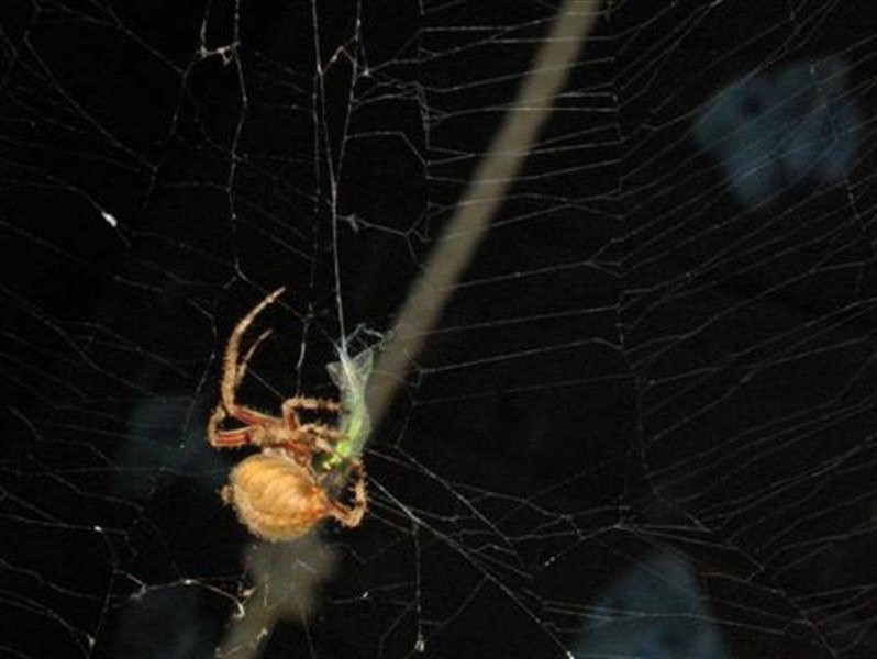 The spider captures and cocoons some kind of small green insect.