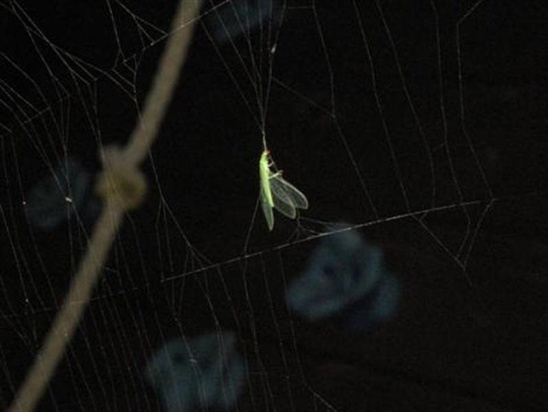 Another one of the dainty green insects is captured by the spider's web...