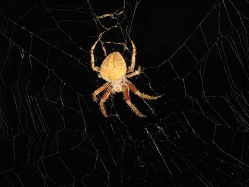 The insect is quickly subdued and cocooned in webbing. The whole process of capturing, subduing, and cocooning its prey usually took the spider less than a minute.