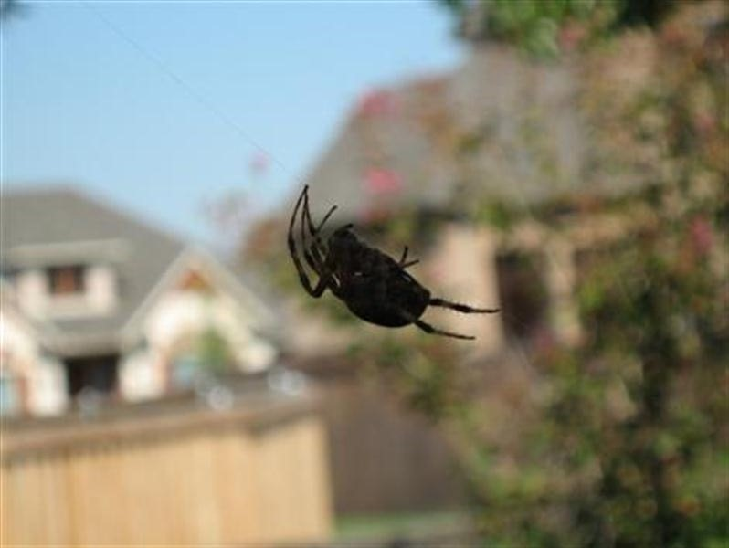 A daytime picture of the large orb weaver.