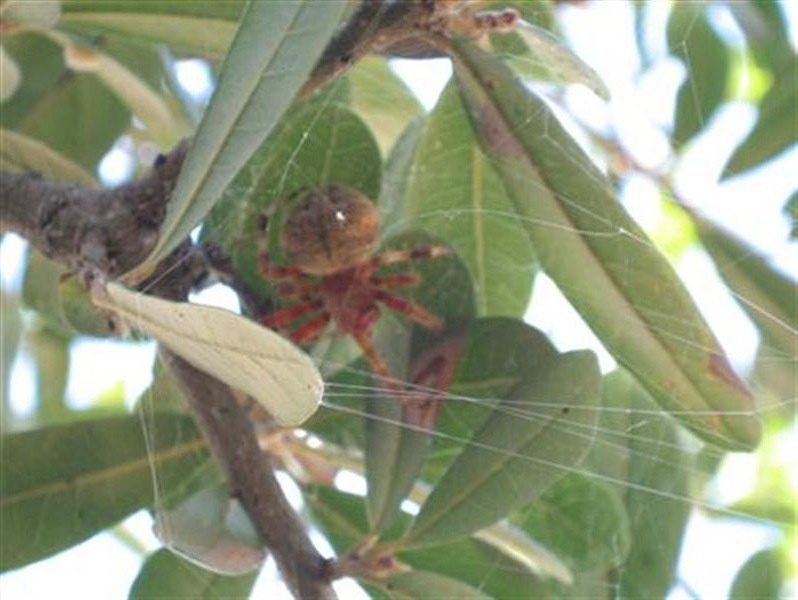 During the day the spider was often absent from the center of the web. At these times, the spider could usually be found hunkered down under the the cover of leaves in a nearby tree.