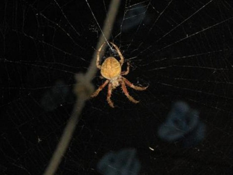 This time the spider carried the cocooned bug back to the center of its web.