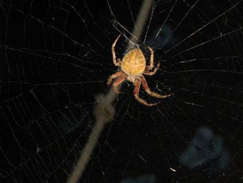 Back to the center of the web to await more prey!