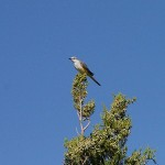 Western Kingbird - Against a Blue Sky