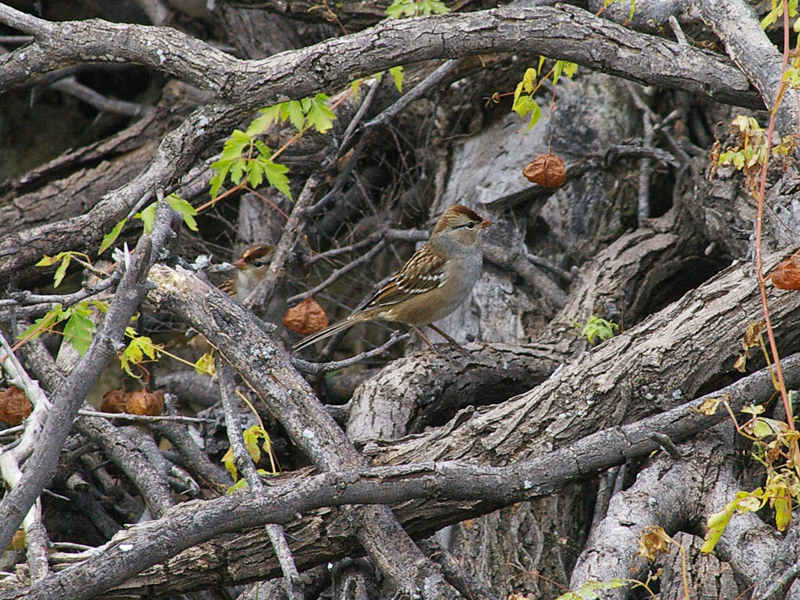 White-crowned Sparrow - Brush Pile