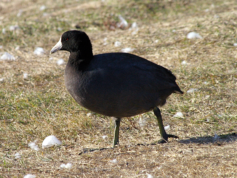 American Coot - A Day at the Lake