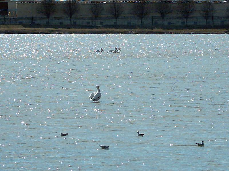 American White Pelican – Migration Break