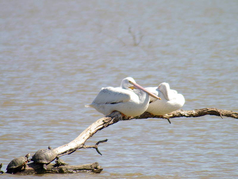 American White Pelican – Migration Break