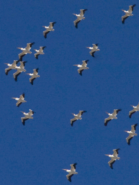 American White Pelican - Structure