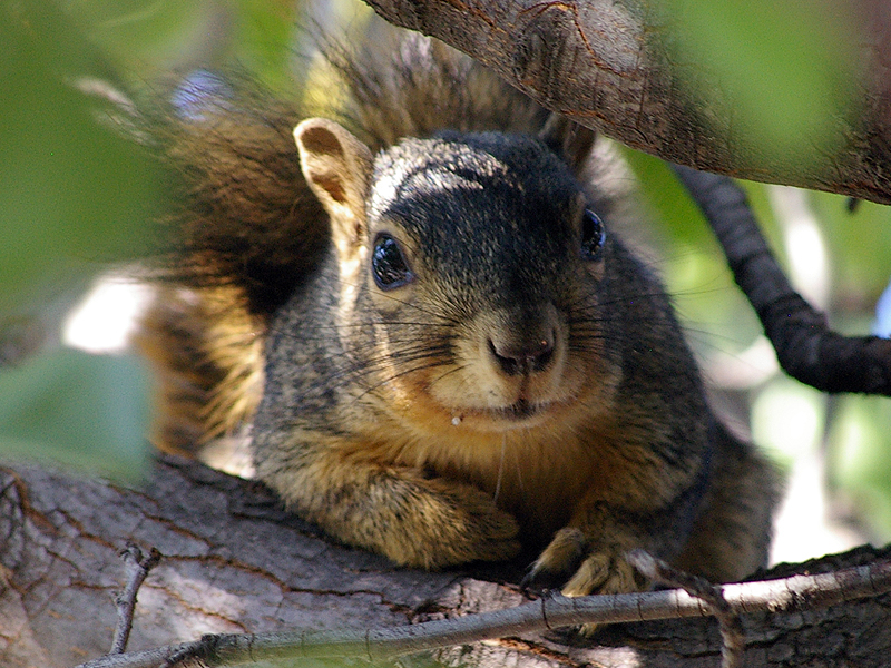 Fox Squirrel - Tree Elf