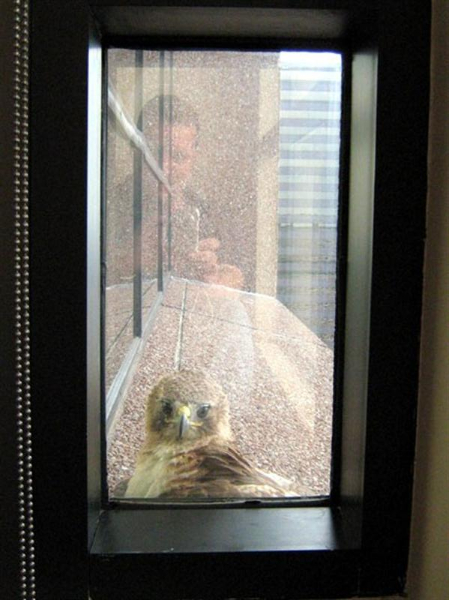 Another photo for context. Notice the black window frame, and my reflection in the window glass. At times, the hawk would look right at me through the glass. At these times it seemed to be at least vaguely aware of my presence.